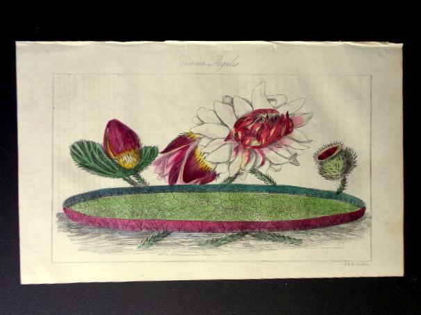 画像1: ロバート・マーノック Robert Marnock ,ボタニカルマガジンVol.4(1839〜40年)