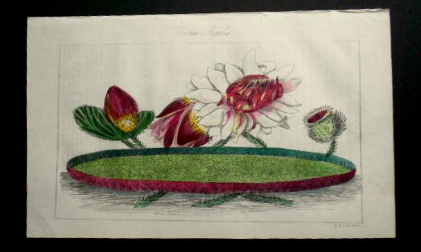 画像2: ロバート・マーノック Robert Marnock ,ボタニカルマガジンVol.4(1839〜40年)