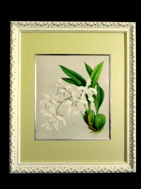 画像1: ワーナー、オーキッドアルバム1882年,「Coelogyne Cristata Alba 54」