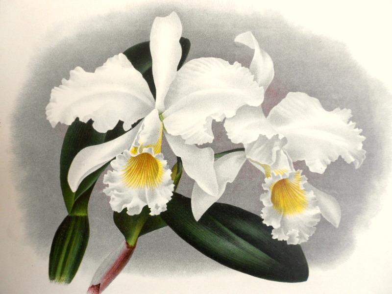 画像1: SALE! リンデン1889年「Cattleya Mossiae. 445」