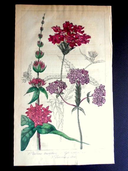 画像1: ロバート・マーノック Robert Marnock ,ボタニカルマガジンVol.V(1840〜1年)
