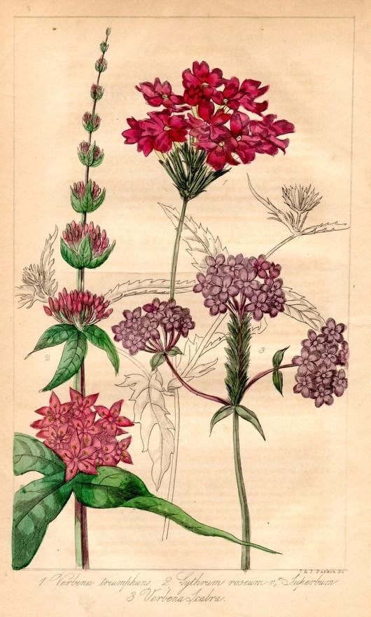画像2: ロバート・マーノック Robert Marnock ,ボタニカルマガジンVol.V(1840〜1年)
